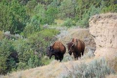 Büffel und Klippe Stockfoto