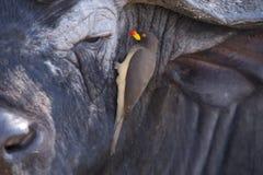 Büffel und Vogel Stockbilder