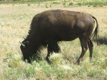 Büffel in Utah Lizenzfreie Stockfotos