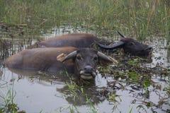 Büffel Vietnam lizenzfreies stockfoto