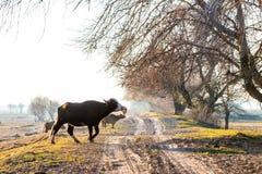 Büffel, welche die Straße nahe Kerkini See in Griechenland kreuzen Lizenzfreies Stockbild