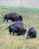Büffel in Yellowstone Lizenzfreies Stockbild