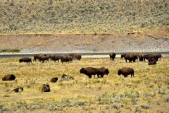 Büffel an Yellowstone Nationalpark stockbild