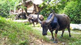 Büffel zwei essen Gras Lizenzfreies Stockfoto