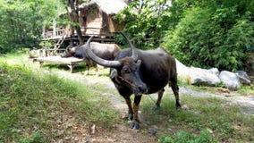 Büffel zwei essen Gras Stockfotografie