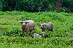 Büffelfamilie Lizenzfreies Stockfoto