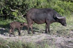 Büffelfamilie Lizenzfreie Stockfotos