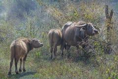 Büffelfamilie in Chiang Dao Lizenzfreie Stockfotografie