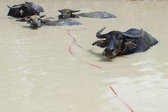 Büffelfamilie im Pool Lizenzfreie Stockfotos