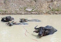Büffelfamilie im Pool Stockfotos