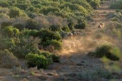 Büffelherde bei Sonnenuntergang Lizenzfreie Stockbilder