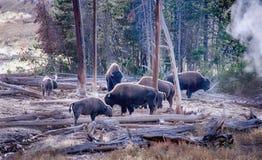 Büffelherde in Yellowstone Lizenzfreies Stockfoto
