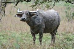 Büffelherden auf den Gebieten morgens Lizenzfreies Stockfoto