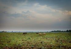 Büffelkalb in Thailand Lizenzfreies Stockbild