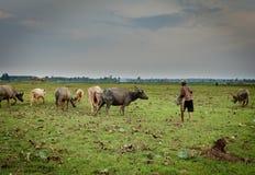 Büffelkalb in Thailand mit Landwirt stockbilder