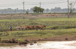Büffelkalb in Thailand mit Landwirt lizenzfreie stockbilder
