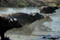 Büffellaufen Stockbild