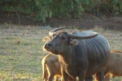 Büffelleben stockbilder