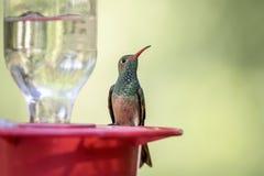 Büffelleder-aufgeblähter Kolibri in Südfeldgeistliche-Insel lizenzfreie stockfotografie