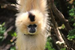 Büffelleder-cheekedgibbon, der heraus hängt buchstäblich! Lizenzfreie Stockfotografie