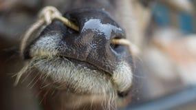 Büffelnase Stockfoto