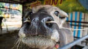 Büffelnase Stockfotografie