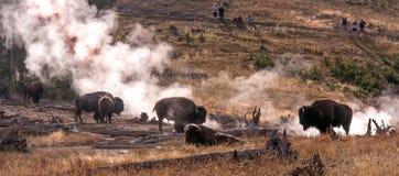 Büffelpanorama in Yellowstone Stockfoto
