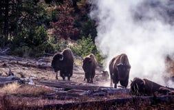 Büffelsauna in Yellowstone Lizenzfreies Stockbild
