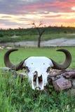 Büffelschädel in Afrika lizenzfreie stockbilder