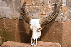 Büffelschädelprobenmaterial Lizenzfreie Stockfotografie