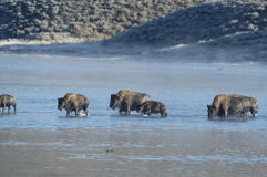 Büffelschwimmen über Fluss Lizenzfreie Stockfotos