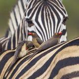 Büffelweber in Nationalpark Kruger stockfotos