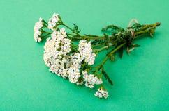 Bündel Achillea-millefolium mit weißen Blumen Lizenzfreies Stockfoto