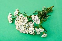 Bündel Achillea-millefolium mit weißen Blumen Lizenzfreies Stockbild