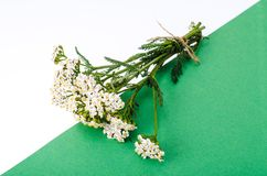 Bündel Achillea-millefolium mit weißen Blumen Stockbilder