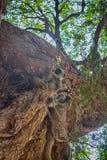 Bündel Affen (Langur) erhielt den verzweigten Baum Lizenzfreies Stockfoto