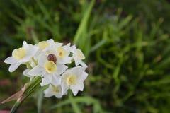 Bündel auf Narcissus Jonquils mit Baby-Schnecke auf Blumenblatt lizenzfreie stockbilder