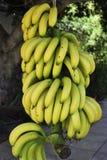 Bündel Bananen lizenzfreie stockfotografie