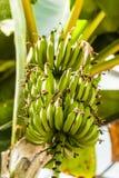 Bündel Bananen Stockfotos
