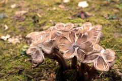 Bündel braune Pilze mit den Blumenblättern wie Kappe auf einem Boden umfasst durch Moos Lizenzfreies Stockbild