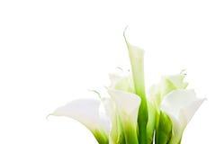 Bündel Calla-Lilien - mit Ausschnittspfad Stockfotografie