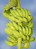 Bündel der Banane Stockbilder