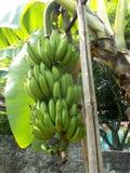 Bündel der Banane auf dem Baum Lizenzfreie Stockfotos