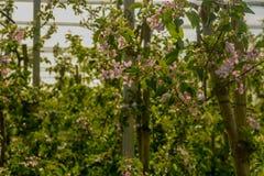 Bündel der Birne blüht auf Ackerland im April Lizenzfreie Stockbilder