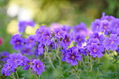Bündel der blühenden Pelargonie und der Biene Lizenzfreies Stockfoto