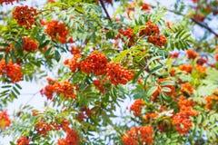 Bündel der Eberesche auf grünen Niederlassungen des Baums und des Himmels Lizenzfreie Stockbilder