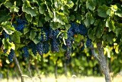 Bündel der französischen roten Weinreben, die auf dem Weinstock an einem Weinberg in ländlichem Frankreich bereit zur Ernte vor de Stockbild