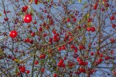 Bündel der glänzenden roten Kirschen auf Kirschbaum Stockbilder