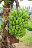 Bündel der grünen Banane Stockbilder