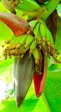 Bündel der grünen Bananen auf einer Bananenstaude lizenzfreie stockbilder